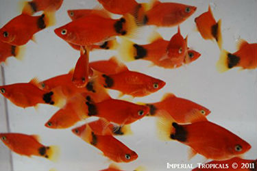 Red Mickey Mouse platy fish for sale