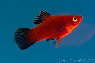 Red Wag platy fish for sale