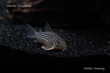 Sterbai Corydoras for sale