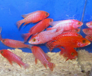 For Sale Strawberry peacock cichlids