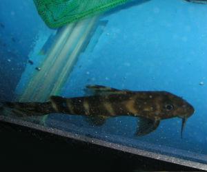 Synodontis bricardi catfish