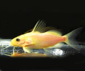 Synodontis nigrita gold