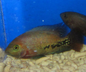 Buy Synspilum Quetzel cichlids from Belize