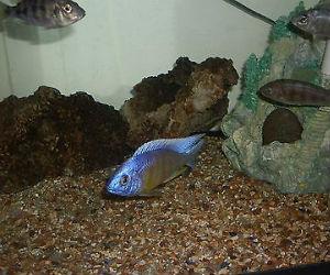 Taiwan Reef Cichlid Sale
