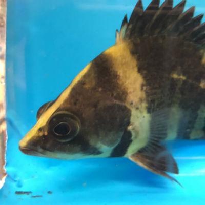 New Guinea tigerfish - Datnioides campbelli