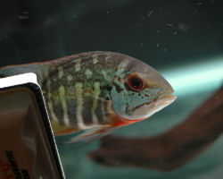 Juvenile true parrot cichlid fish from South America