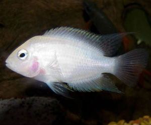 A white convict cichlid also called leucistic coloration